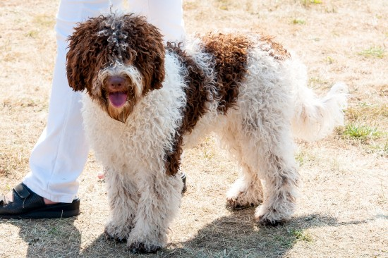 lagotto romagnolo information dog breeds at dogthelove
