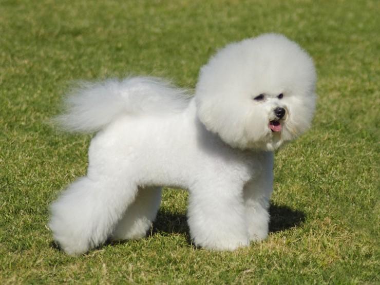 bichon frise information dog breeds at dogthelove