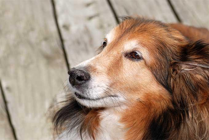 Dogs Sale Shetland Islands