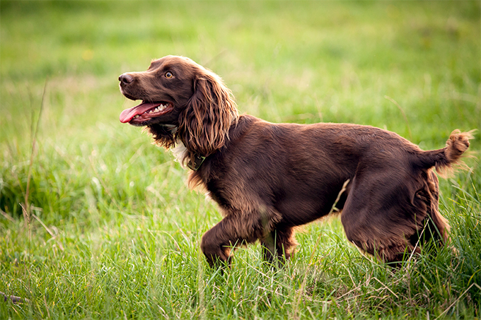 Short Haired Black Sporting Spaniel Dog