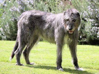 Irish Wolfhound Information Dog Breeds At Dogthelove