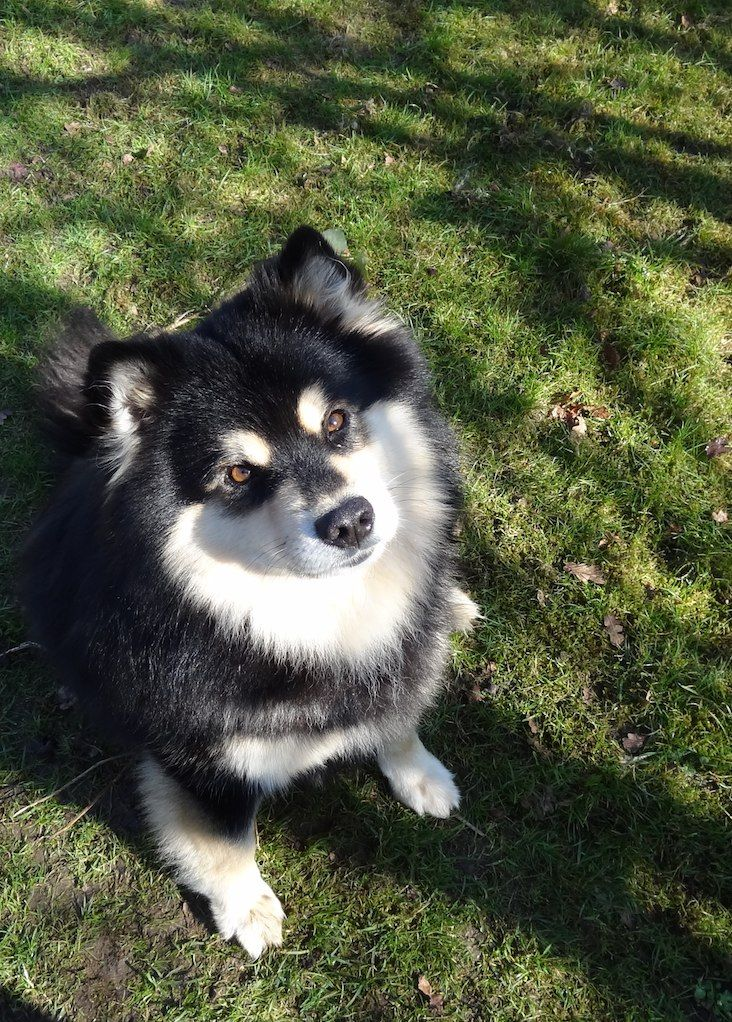Finnish Lapphund Information Dog Breeds At Dogthelove