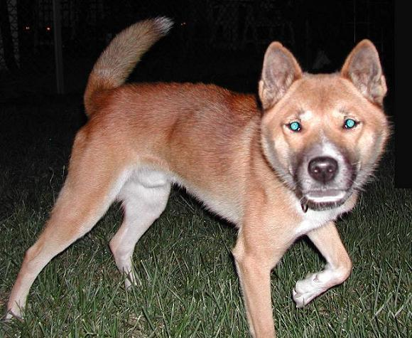 Guinea Singing Dog For Sale