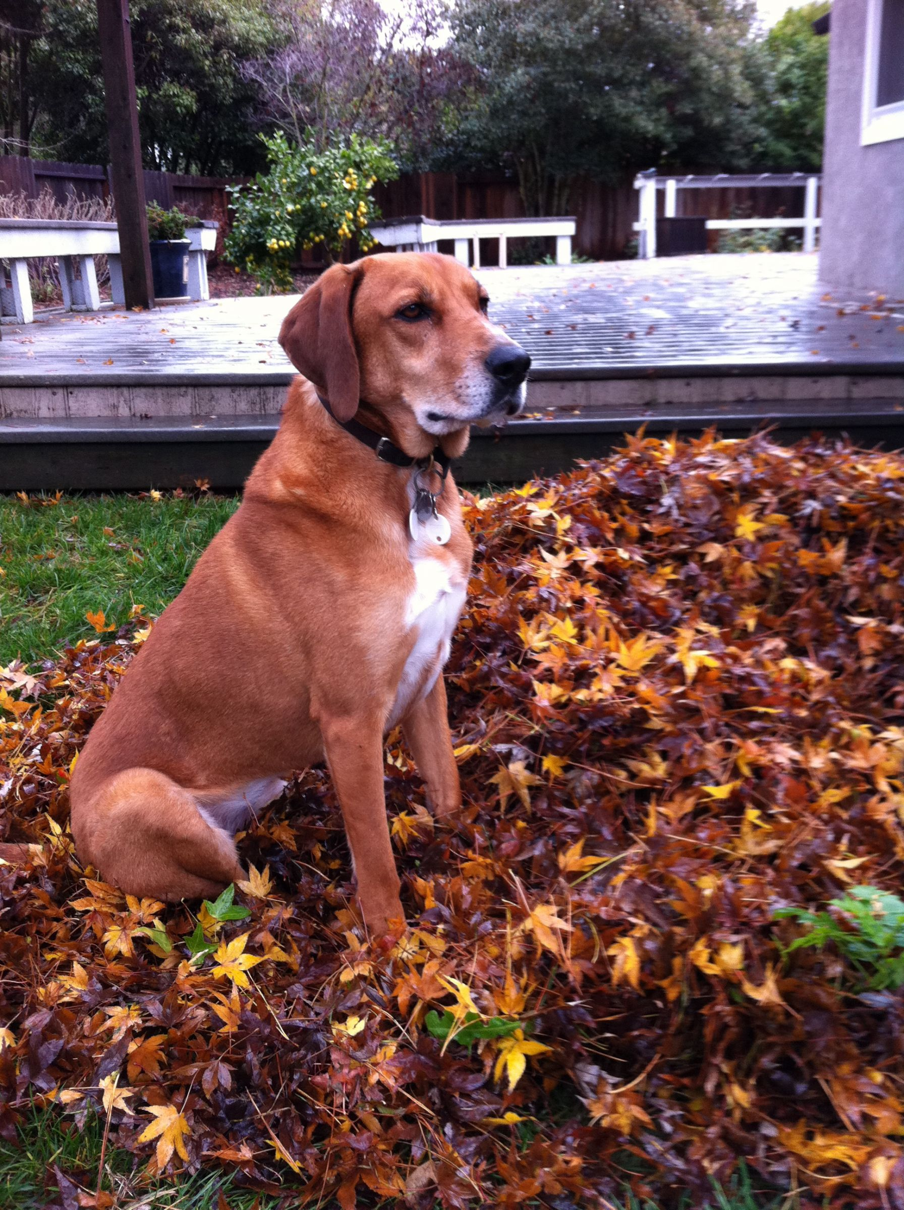 Redbone Coonhound Information Dog Breeds At Dogthelove