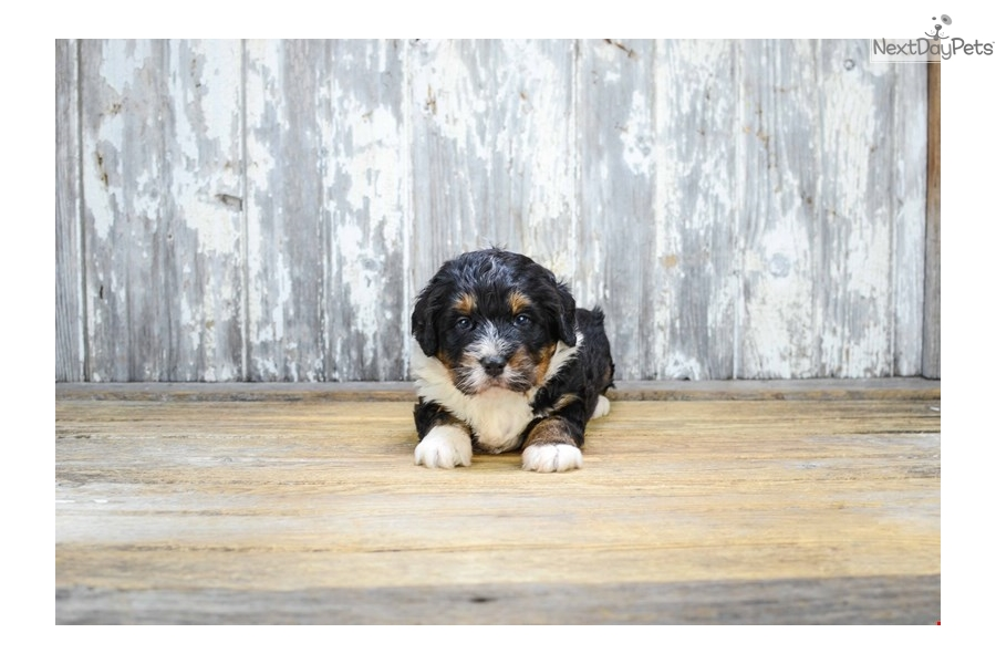 Bernese Mountain Dogs For Sale In Columbus Ohio