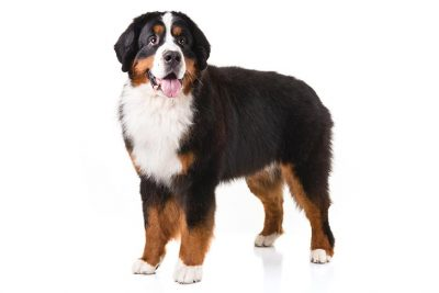 Working Dog Breeds - Breed Lists - Dog the Love