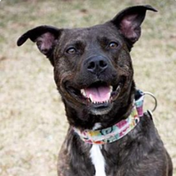 Adopt a dog:Penny Deena/Pit Bull Terrier Mix/Female/5 years,