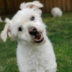 """Adopt a dog:Tikki/Poodle / Bichon Frise Mix/Male/Senior,His name is Tikki and he came to the ranch with my 3 companions. Their mommy has pancreatic cancer and couldn't keep them any longer. He would love to have a new home. The ranch is cool but he really wants a mom and dad again. Theywant to make sure their little furry ones are placed in their """"forever home"""" and never have to go through a rehoming again! This little boy is truly one of a kind and she hopes to find a family that is just as special as she is. Don't miss out on making this wonderful boy part of your family!"""