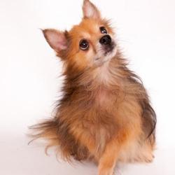 Poppy Lancaster/Pomeranian/Male/Senior