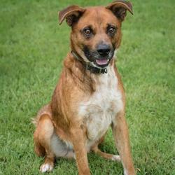 Rusty/Boxer / German Shepherd Dog Mix/Male/2 years