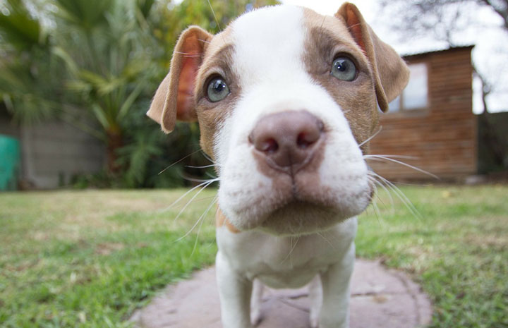 Different Types of Pit Bulls