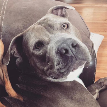 Pit Bull Terrier/Male/3 years