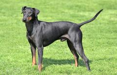 Manchester Terrier(Standard)