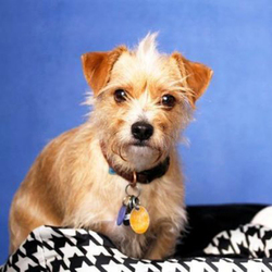 Marco Polo/Cairn Terrier / Chihuahua Mix/Male/3 years