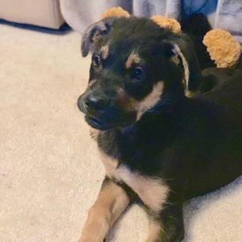 Shepherd Mix/Male/Puppy