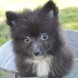 Ted/Pomeranian/Male/12 Weeks
