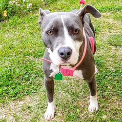 Adopt a dog:Angel/Pit Bull Terrier Mix/Female/Adult,