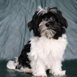 Lulu/Havanese/Female/16 Weeks