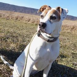 Adopt a dog:Addie/Boxer Mix/Female/Senior,