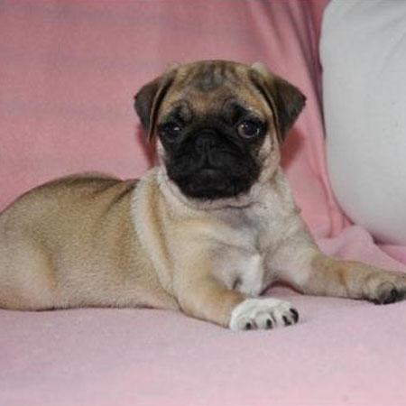 Rosie/Pug/Female/10 Weeks