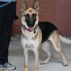 Iggy/German Shepherd Dog/Female/2 years