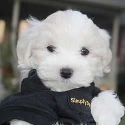 Mateo/Maltese/Male/11 Weeks