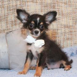 Winston/Chihuahua/Male/19 Weeks