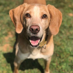 Adopt a dog:Jarvis/Treeing Walker Coonhound/Male/Adult,