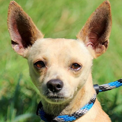 Brock/ Chihuahua/Male/Adult