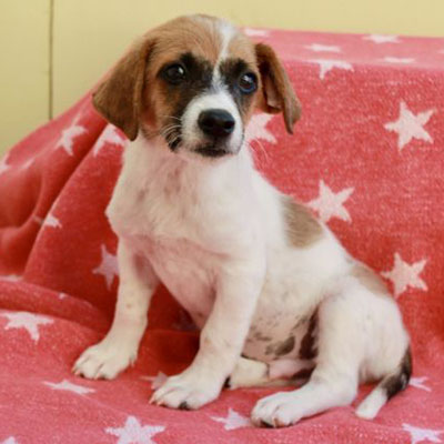 Jack Russell Terrier / Spaniel Mix/Male/Puppy