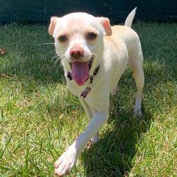 Adopt a dog:Galio/Chihuahua/Male/Young,