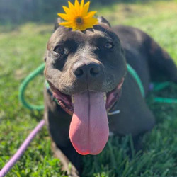 Adopt a dog:Kaia Carson/Pit Bull Terrier Mix/Female/Adult,