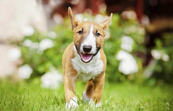 Miniature Bull Terrier