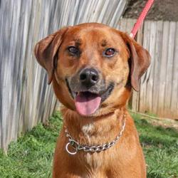 Adopt a dog:Blaze/Vizsla Mix/Male/Adult,
