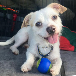 Adopt a dog:Mochi/ Terrier Mix /Male/Adult,