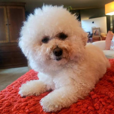 Adopt a dog:Sofia/Bichon Frise / Poodle Mix/Female/Young,Meet Sofia! Her personality is as big as her beautiful name. She's a 4-year-old small 8-pound Bichon Frise mix. She is fun, loving and full of spirit! She took a fall before becoming a BROC BABE and the doctors said she would NEVER walk again due to a spinal cord rupture. But she has the will to get wherever she wants, nothing holds her back. Come meet and adopt Sofia and your 2019 is bound to overflow with happiness-plus!