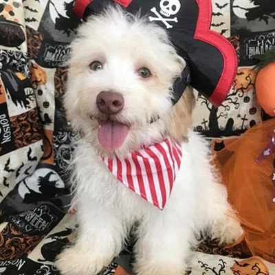 Dude/Havanese/Male/27 Weeks,This cutie is Dude! Are you looking for a lifelong companion? Look no further. He is here and just perfect for you. He is very loyal and he can make you smile with just the way he wags his tail. Dude has a wonderful disposition. He's up to date on his vaccinations and vet checked from head to tail. Hurry! This sweet cutie can't wait to meet you!