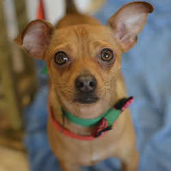 Adopt a dog:Gilligan/Jack Russell Terrier / Chihuahua Mix/Male/Young,
