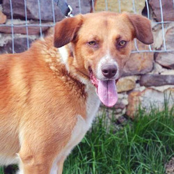 Adopt a dog:Remington/Collie / Labrador Retriever Mix/Male/Adult,