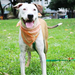 Adopt a dog:Aileen/American Bulldog / Terrier Mix/Female/Young,