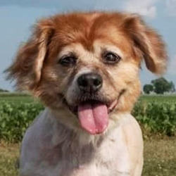 Jasmine/ Pekingese Mix /Female/11 years