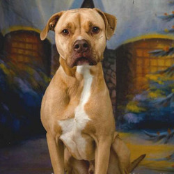 Jack/ Pit Bull Terrier/Male/Adult