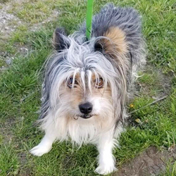 Adopt a dog:Jeter/Yorkshire Terrier / Papillon Mix /Male/2 years,