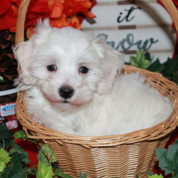 Coffee/Maltipoo/Male/7 Weeks