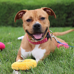 Adopt a dog:Diamond/Pit Bull Terrier Mix/Female/Young,