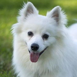 Adopt a dog:Murphy/ American Eskimo Dog Mix /Male/Young ,Murphy tore our of his crate at about a million miles an hour with the happiest look on his face and a tail that doesn't stop. He wants to be friends with you, and you, and you, and you, and literally EVERYBODY. Since he's so active, he needs a home that can meet his energetic needs. Lots of walks, play and most importantly, obedience training. He pulls on a leash and benefits from wearing a harness. He should go to a family that has experience with the Spitz family. He'd do fine with another dog in the family, but older dogs will quickly become annoyed with his type-A personality.He needed and still needs someone that is willing to put the time into working with him. He has not been taught manners or boundaries. I am sure he was a cute pup and was able to do what he wanted. He is a very nice dog but needs an experienced owner that will help him to become the good canine citizen he was meant to be. If you are interested you will want to research the breed. We prefer to adopt to someone experienced with the Spitz family.