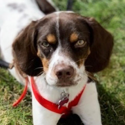 Chops/English Springer Spaniel / Beagle Mix/Male/Puppy