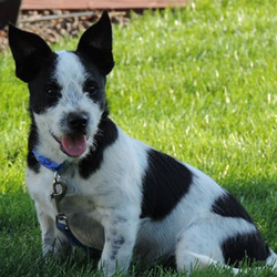 Adopt a dog:Bryce/ Cattle Dog / Jack Russell Terrier Mix /Male/Puppy ,