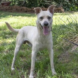 Adopt a dog:Chip/ Feist / Labrador Retriever Mix /Male/Young,