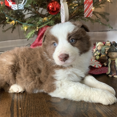Adopt a dog:Rudolph/Border Collie/Male/6 Weeks,Meet Rudolph! This gorgeous boy is ready to make you his new best friend. Rudolph is full of energy and spunk, and can't wait to come home to you for belly rubs. He's always ready to play and hopes you are too! He will be up to date on his vaccinations and pre-spoiled before coming to his new home. Make Rudolph part of your family today; you'll be glad you did!